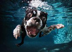 Boston-Terrier Rocco jagt im Swimmingpool einem Spielzeug hinterher. Mit Bildern von Hunden unter Wasser hat der Fotograf Seth Casteel international großen Erfolg.