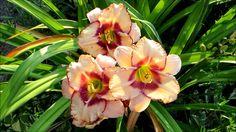 ╭დ╯❀Beautiful peach oriental day lilies in my garden❀╭დ╯ my new video is up please click to watch on youtube and while your there give a thumbs up subscribe enjoy!!!