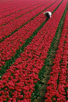 Horticulture in Holland  A farm worker works in a field of magenta tulips in the Lisse region of the Netherlands.