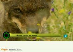 El burro y los lobos - Donkey and wolves. Cortesía: ASZAL, Asociación Nacional de Criadores de la Raza Asnal Zamorano-Leonesa, Zamora (España).
