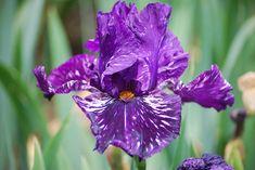 Iris germanica 'Violet Tiger'