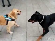 Ooit een hond #karate zien doen? #Dobermann