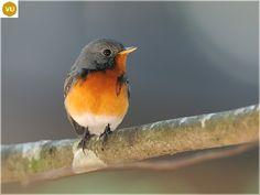 https://www.facebook.com/WonderBirds-171150349611448/ Đớp ruồi Kashmir; Họ Đớp ruồi-Muscicapidae; vùng Kashmir tiểu lục địa Ấn Độ    Kashmir flycatcher (Ficedula subrubra) IUCN Red List of Threatened Species 3.1 : Vulnerable (VU)(Loài sắp nguy cấp)
