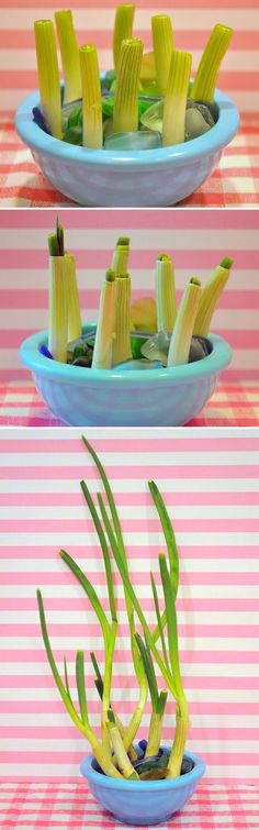 Indoor Gardening Projects • Ideas and Tutorials! Including this project, from 'holiday sparkle', they show you how to grow green onions indoors.