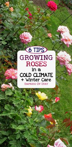 Love roses? See what you can do to help your roses thrive and give them essential protection during harsh winter months. With these steps you can reduce the amount of die back and have more blooms next year. #sponsored