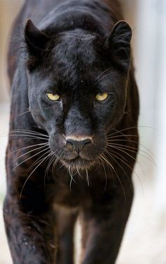 What Do Panthers Eat? A black panther is not a species in its own right; the name black panther is an umbrella term that refers to any big cat with a black coat. Beautiful Cats, Animals Beautiful, Animals And Pets, Cute Animals, Wild Animals, Baby Animals, Strange Animals, Large Animals, Gato Grande
