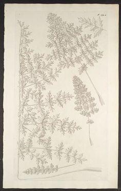 Florae Austriacae, sive, Plantarum selectarum in Austriae archiducatu. Viennæ Austriæ :Leopoldi Joannis Kaliwoda,1773-78.. biodiversitylibrary.org/page/278572