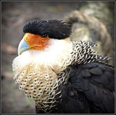 Northern Crested Caracara, bird of prey found throughout a large part of the Americas.