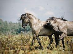 Konik Stallions