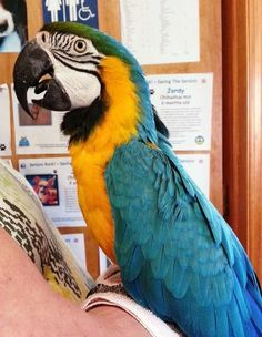 Pretty Boy is an adoptable Macaw Bird in Hubertus, WI Pretty Boy is an adult, DNA-sexed male Blue and Gold Macaw.  He is tame and handlable when out ... ...Read more about me on @Petfinder.com.com