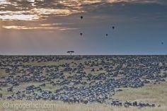 Invasion. | Wildebeest-Migration. | Masai Mara. | Kenya. |www.ingogerlach.com
