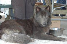 Blue bay Shepherd Puppies | mo old female