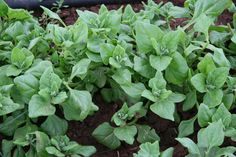 Warrigal Greens (Tetragonia tetragonioides) - can be a substitute for spinach.