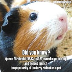 Queen Elizabeth I owned a guinea pig and helped launch the popularity of the furry rodent as a pet. Baby Guinea Pigs, Guinea Pig Care, Pet Pigs, Guinie Pig, Wombat, Raising Farm Animals, Guinea Pig Bedding, Animals Beautiful, Cute Animals