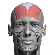 As we get older we start to notice some changes in our appearance specifically – the face. A normal part of ageing is getting wrinkles. Anatomy Head, Facial Anatomy, Human Anatomy Drawing, Human Body Anatomy, Anatomy Study, Anatomy Reference, Anatomy Models, Anatomy For Artists, Proportion Art