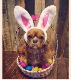 Some Helpful Ideas For Training Your Dog – One Boutique King Charles Puppy, King Charles Spaniel, Cavalier King Charles, Cavalier King Spaniel, Cocker Spaniel Dog, Dog Pictures, Animal Pictures, Easter Pictures, Dog Photos