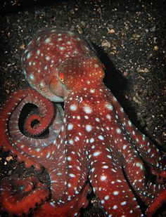 Red Octopus. Octopuses have 2 eyes and 4 pairs of arms and are bilaterally symmetric. An octopus has a hard beak, with its mouth at the center point of the arms. Octopus lack an internal or external skeleton allowing them to squeeze through tight places. Octopuses are among the most intelligent and behaviorally flexible of all invertebrates.