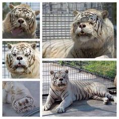 This is Kenny, considered to be first known tiger with Down's Syndrome. He died in 2008 of cancer.