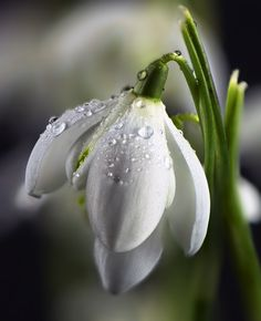 Snowdrop by Karl Oparka on 500px