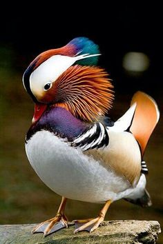 Mandarin duck Canard Mandarin, Mandarin Duck, Pretty Birds, Beautiful Birds, Animals Beautiful, Tropical Birds, Colorful Birds, Aix Galericulata, Animals And Pets
