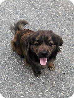 Boykin Spaniel/Pomeranian Mix Dog for adoption in Sauk Rapids, Minnesota - Pojo