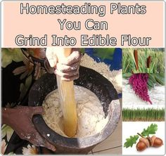 Homesteading Plants You Can Grind Into Edible Flour Homesteading - The Homestead Survival .Com