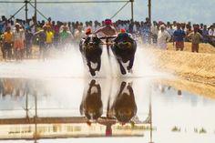 Buffalo race (Kambala) Photo by Harish T P -- National Geographic Your Shot