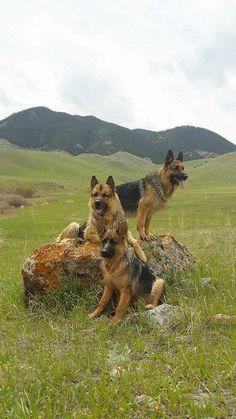 The German Shepherd Dog - German Shepherd Guide German Shepherd Pictures, German Shepherd Puppies, German Shepherds, Best Dog Breeds, Best Dogs, Malinois, Schaefer, Mountain Dogs, Family Dogs