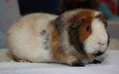 Teddy the Guinea Pig. Beautiful eyes