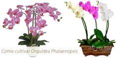 Hoje vamos mostrar como fazer para cultivar  orquídea Phalaenopsis, uma orquídea linda, que tem floração que dura por 3 meses e ainda pode florir várias vezes por ano em alguns casos.