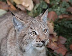 Lynx, Pforzheim IV by Areksim on DeviantArt