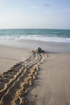 The Green Sea Turtles of Ras al Jinz | Eric in Oman/ إرك في عمان