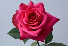 """""""Hot Explorer"""" rose  #xactproducts #colorful #style #instaflowes #flowerporn #flowerstagram #flowersofinstagram #floristsofinstagram #floristry #florist #flowershop #ihavethisthingwithflowers #floristlife #eventflowers #seasonalflowers #floraldesigner Seasonal Flowers, All Flowers, Floral Design, Fragrance, Roses, Colorful, Create, Hot, Plants"""