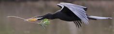 Breeding Time - An Australian Darter taking some nesting material back to its mate as they prepare to breed.