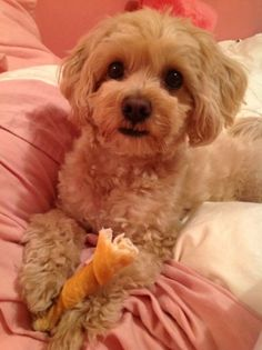 Adult Maltipoo Haircuts for Pinterest