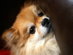 My doggie booboo she is a purebred pomerian               My Pomerian is a purebred. Her name is KIKI and she goes everywhere with me.
