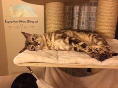 Bengal Cat Gallery - Cat's Nine Lives Egyptian Mau, Mean Cat, Cat Playground, Nine Lives, Bengal Cats, Cat Behavior, Cat Grooming, Cat Breeds, Chilling