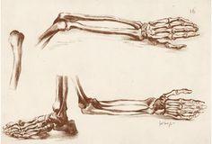 Human Bones of Arms, Hands & Feet, 1765