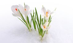 3840x2308 crocus flowers 4k download wallpapers for pc