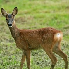 Time is running out for a petition which could force the city to release information which may help save the city's remaining roe deer from further culling. Deer Species, Fallow Deer, My Favourite Subject, Roe Deer, Mammals, Kangaroo, Hunting, Two By Two, Drawings