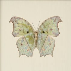 Real Butterfly Taxidermy Mother of Pearl Verso by BugUnderGlass, $35.00