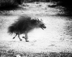 I just love hyenas ❤️