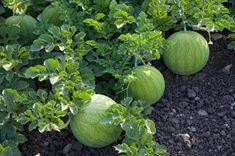 Honeydew, Sprouts, Cabbage, Flora, Fruit, Vegetables, Gardening, Lawn And Garden, Cabbages