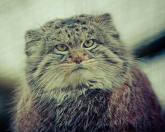 First of all, they are not your average house cat. They're ~wild~. | 13 Reasons Pallas' Cats Are Just Misunderstood Teenagers