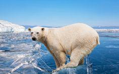 Polar Bears In Danger http://www.worldanimal.foundation/advocate/polar-bears-in-danger