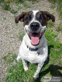 My name is Max and I was surrendered to the shelter in June I am a 4 year old neutered male Pointer mix. I am currently being fostered. My foster mom says I am the smartest dog ever! I know how to sit and shake. She doesn't have to tell. Dog Names Male, Foster Mom, Helping The Homeless, Puppy Mills, Names With Meaning, My Heart Is Breaking, Worlds Of Fun, Four Legged, Humane Society