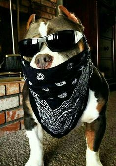 Uplifting So You Want A American Pit Bull Terrier Ideas. Fabulous So You Want A American Pit Bull Terrier Ideas. Pitbull Terrier, Amstaff Terrier, Bull Terriers, Huge Dogs, I Love Dogs, Pit Puppies, Scary Dogs, Pitt Bulls, American Pitbull