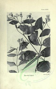 - black-and-white Dogbane - high resolution image from old book. Botany, Royalty, Victorian, Black And White, Floral, Illustration, Nature, Fabric, Pictures