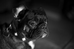 Black French Bulldog Puppy Black French Bulldogs, Black Puppy, Dear God, Four Legged, Fur Babies, Puppies, Black And White, Cubs, Black N White