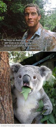 funny bear gryllis eucalyptus leaves going to bathroom koala meme